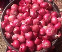 Top  Grade AA+ Quality Naturally Grown Red Onion From Cameroon