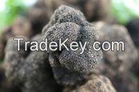 Black truffle Yunnanese (Tuber indicum)