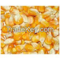 Non GMO Yellow maize/corn / Dry White Maize For Bulk Export!