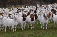100% Full Blood Boer Goats, Saanen goat
