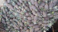 Wholesale Fresh Pineapple, Pineapple Fruit Price, Bulk Fresh Fruit Pineapple