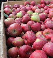 Fresh Royal Gala, Fuji, Golden Delicious, Red Delicious Apples