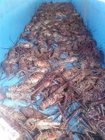 Sell Ocean Fresh / Live and Frozen Lobster