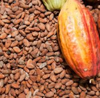 Cocoa Beans From Ivory Coast Cocoa Beans