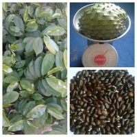CUSTARD APPLE(SOUR SOP)