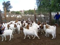 Livestock Full Blood Boer Goats