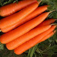 Wholesale Fresh Carrot / Fresh Carrot Vegetable / Fresh Carrot Supplier in South Africa