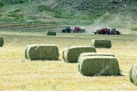 alfalfa hay, Timothy hay