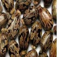 High Quality Castor Seeds Available....