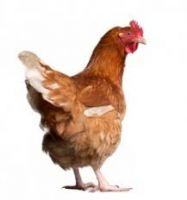 Live Fowl/ Chicken for Sale