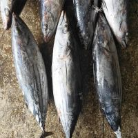 Frozen Skipjack Tuna Fish