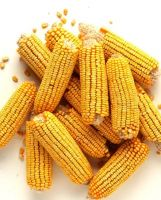 Non GMO Yellow Corn and White Corn
