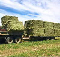 Cheap Alfafa Hay for Animal Feeding Stuff Alfalfa hay/alfalfa hay/high vitamin rabbit hay food