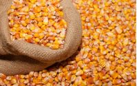 African Yellow Corn