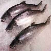 Good quality Fresh / Frozen Atlantic Salmon Fish