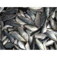 Frozen Horse Mackerel /Pacific/Indian/Atlantic Mackerel fish