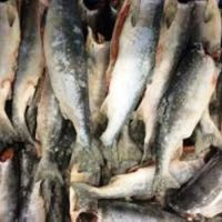 Frozen BQF Salmon Fresh Fish