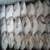 White Silver Pomfret Fish