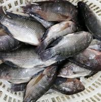 Best Frozen Fish, Frozen Tilapia, Frozen