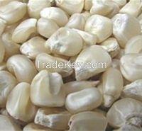White Corn Maize