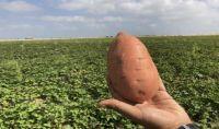 Evangeline & Belleveau Sweet Potatoes