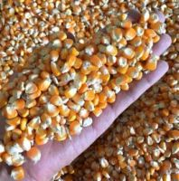 Top Quality Yellow Corn/ White Corn/ Corn Gluten/ Corn Meal