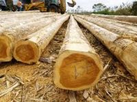 Teak Logs and sawn lumbers