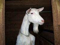 Saanen Goat/ Milking Saanen Goats /Pregnant Saanen Goats