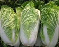 fresh celery cabbage