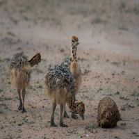 fowl AND LIVESTOCK in ostrich chicks for sale
