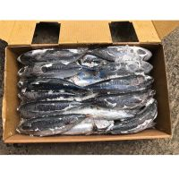 Frozen Fish Bonito Tuna Factory Price