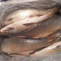 High Quality Fresh / Frozen Atlantic Salmon Fish