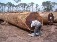 Bubinga Timber Large Logs and Lumber for Ready for Sale