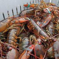 Frozen and live spiny lobster for sale