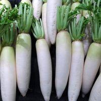 Fresh white Radish from owned farm