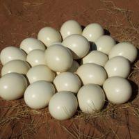 OSTRICH EGGS / MATURE OSTRICH BIRDS/OSTRICH CHICKS