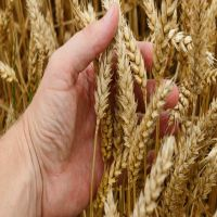 Animal Feed and Human Consumption Dried Wheat Grain for Wholesale