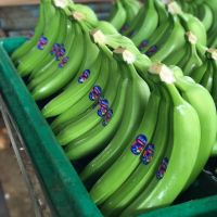 High Quality Fresh Cavendish Banana / Fresh Banana