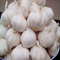 Quality hot selling GRADE AA fresh white Natural Garlic