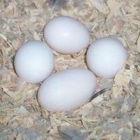 Fertilized Ostrich Eggs /Fertilized Parrot Eggs /Fertilized Quail Eggs