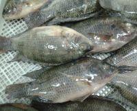 100% best quality Frozen fish