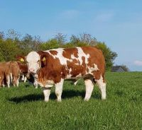 HOLSTEIN HEIFERS DAIRY COWS
