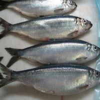 New catch Frozen Pacific Herring Fish from Norway for sale