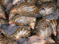 Dried frozen Snail meat for sale
