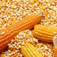 yellow corn for sale