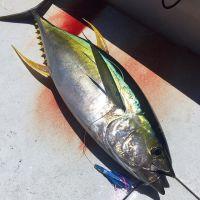 Tuna, Yellowfin Tuna, Yellowfin Tuna Fish