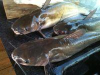 Catfish fish, dried Catfish, smoked Catfish, frozen Catfish, Fresh Catfish