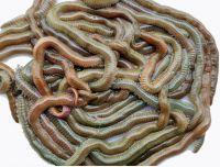 lugworm, red worm