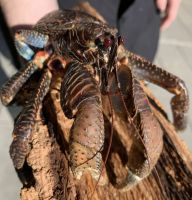 Live Coconut crab, Live Coconut crab for sale