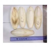 WHOLESALES RAW DRIED CUTTLEFISH BONE IN BULK ( Annie 0084702917076 WA)